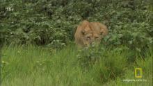 Львицы против львов программа