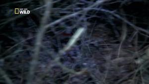 Chasseurs de pythons : Le crapaud buffle photo