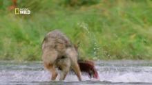 La chasse aux saumons Voir la fiche programme
