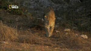 Les léopards du désert photo