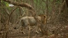 Une famille de lions Voir la fiche programme
