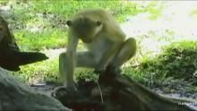 Semen Slurping Macaque show