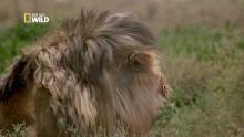 Les lions cannibales Voir la fiche programme
