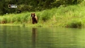 Première rencontre avec un ours en Alaska photo