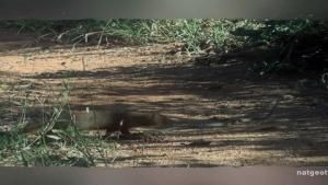 Mongoose Vs. Snake photo