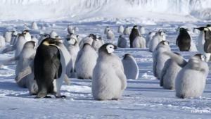 Bringing Up Penguins photo