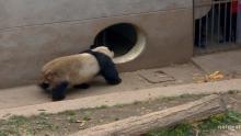 Pandanász film