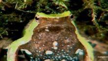 Darwin Frog Birth show