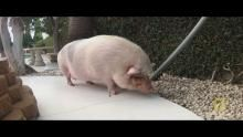 Pet Pot-Bellied Pig show