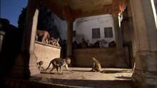 Maimuţe la furat: Episodul 2 documentar
