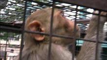 Maimuţe la furat: Episodul 4 documentar