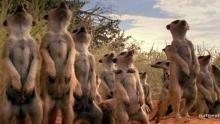 Meerkat Mobs show