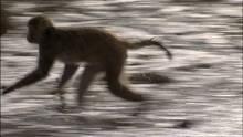Maimuţe la furat: Episodul 6 documentar