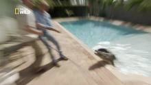 Capture d'un alligator dans une piscine en Floride Voir la fiche programme