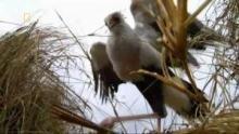 Un étrange oiseau, le Secrétaire Voir la fiche programme