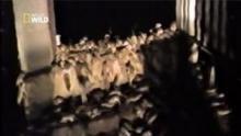 Invasion de souris carnivores en Australie Voir la fiche programme