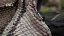 Un python avale un alligator  vivant et explose Voir la fiche programme