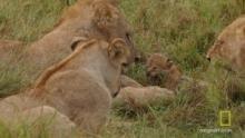 Жестокие игры львов программа