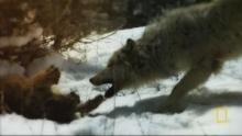 Puma vs. Wolf Programm