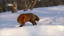 Le renard roux Voir la fiche programme