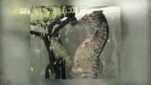 Accouchement d'un hippocampe Voir la fiche programme