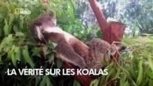 La vérité sur les Koalas Voir la fiche programme