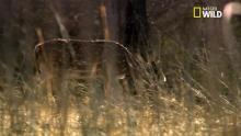 Le tigre du Bengale, scène de chasse Voir la fiche programme