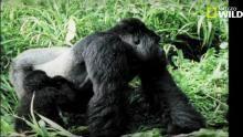 Le sexe chez le gorille à dos argenté Voir la fiche programme