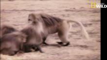 Sexe et harem du babouin Voir la fiche programme