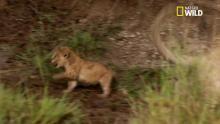 Des lions adultes s'amusent avec un bébé lion - racontée par Gérard Darmon Voir la fiche programme