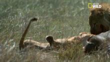 Combat brutal de lions pour la domination - racontée par Gérard Darmon Voir la fiche programme