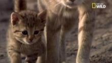 L'origine des chats domestiques Voir la fiche programme