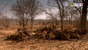 La chasse de nuit pour les lions photo