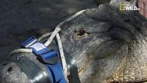 America selvaggia - Alligatori: Florida estrema foto