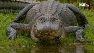 Il regno degli alligatori foto