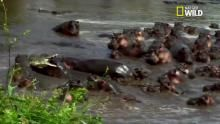 La colère des Hippopotames Voir la fiche programme