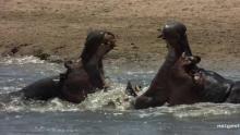 Hippo Mash Up Programma
