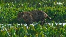 Brasile paradiso selvaggio - Il regno dei giaguari programma