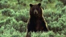 Un grizzly attaque un troupeau de bisons Voir la fiche programme
