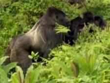 Proteger os gorilas de Virunga fotografia