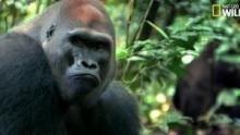 Tensions familiales chez les gorilles Voir la fiche programme