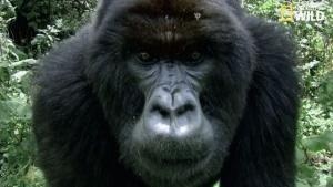 Festin, sieste et jeux chez les gorilles vidéo