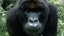 Festin, sieste et jeux chez les gorilles Voir la fiche programme