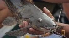 Predator Catfish show