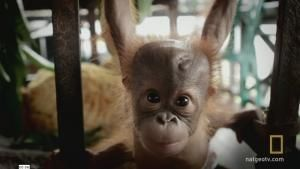 Baby Orangutan School photo