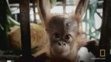Baby Orangutan School show
