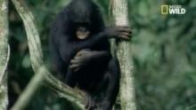 La compassion chez les bonobos Voir la fiche programme