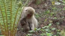 L'adoption d'un bébé macaque japonais abandonné Voir la fiche programme