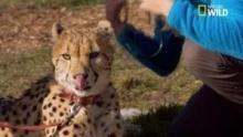Un guépard ronronne Voir la fiche programme