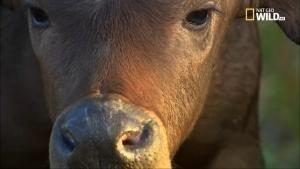 Animal Killers - Bufali senza pietà foto